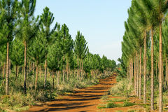 Pine plantation. In northern Argentina Royalty Free Stock Photos