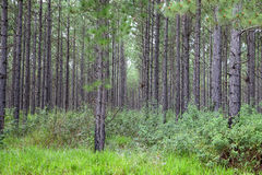 Pine Plantation Stock Images