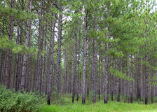 Pine Plantation Royalty Free Stock Image