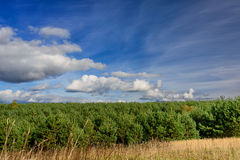 Pine plantation and sky landscape Royalty Free Stock Image