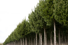 Pine plantation South of Taupo New Zealand Royalty Free Stock Photography