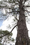 Pine plantations Stock Photo