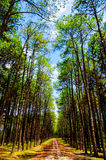 Pine plantations Royalty Free Stock Photo