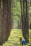 The pine plantations Bor Kaew Stock Images