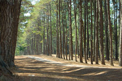 Pine plantations Royalty Free Stock Images