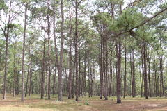 Pine plantations forest park Royalty Free Stock Image