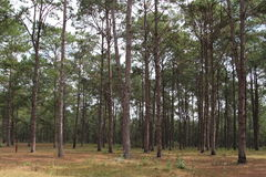 Pine plantations forest park Royalty Free Stock Images