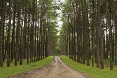Pine plantations Stock Photos