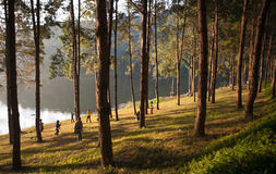 Pine plantations on Pang-ung lake at Maehongson, Thailand Royalty Free Stock Images