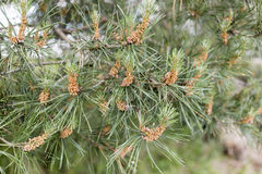 Pine pollen on a branch of pine Royalty Free Stock Photography