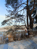 Pine by pond. Sunny winter morning by pond Royalty Free Stock Photos