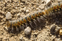 Pine processionary caterpillars Royalty Free Stock Photos
