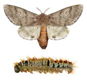 Pine processionary moth. ThaumetopoeawilkinsoniLepidoptera: Thaumetopoeidae. Adult moth and larva isolated on a white background stock photos