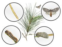 Pine processionary moth, Thaumetopoea wilkinsoni. Lepidoptera: Thaumetopoeidae. Life cycle. Isolated on a white background royalty free stock photos