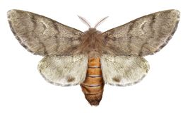 Pine processionary moth. ThaumetopoeawilkinsoniLepidoptera: Thaumetopoeidae. Isolated on a white background stock image