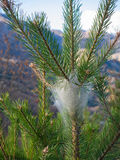 Pine processionary nest on the top of a young pine Royalty Free Stock Photography