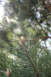 Pine in the protected forest of the Bryansk region royalty free stock photography