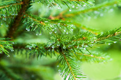 Pine after rain. Rain drops on pine-tree, macro Stock Images