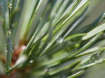Pine after rain Stock Photo