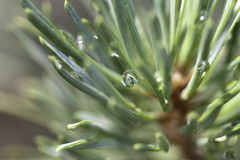 Pine after rain Royalty Free Stock Image