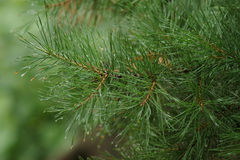 Pine in the rain Royalty Free Stock Images