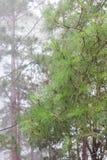 Pine in rain. Three leaf pine in rain with cloud Royalty Free Stock Image