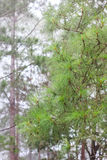 Pine in rain. Three leaf pine in rain with cloud Stock Images