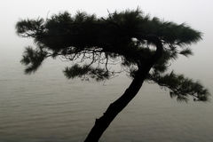 Pine in the raining with fog Stock Photos