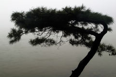 Pine in the raining with fog Stock Image
