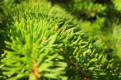 Beauty Forest - Pine Royalty Free Stock Image