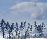 Pine rees in winter Stock Photos