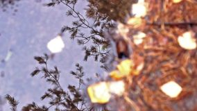 Pine reflection in ruddle stock video