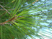 Pine relict. Green branch of pine relict Stock Photo
