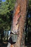Pine resin Royalty Free Stock Photos