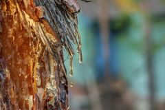 Pine resin amber color flows down the bark of the tree