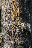 pine resin in a meadow Royalty Free Stock Image