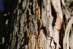 Pine resin. On the tree trunk Royalty Free Stock Image