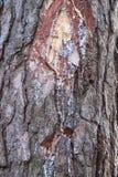 Pine resin Stock Photography