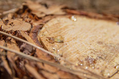 Pine resin Royalty Free Stock Image