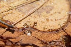 Pine resin Royalty Free Stock Photography