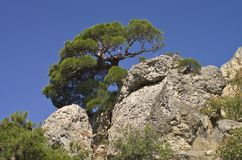 Pine on a rock. Stock Photos