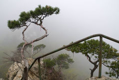Pine on the rock. Tenacious pine living on the rock of top of hill Stock Photography