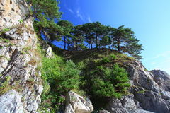 Pine on the rocks. \\\Gustocvetkovye\\\ pine growing on rocks on the coast of the Pacific in Primorsky Krai, Russia Royalty Free Stock Images