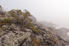 Pine on rocky coast of foggy lake. A spring landscape Royalty Free Stock Image