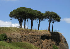 Pine in Rome. Pine trees in Rome stock photos