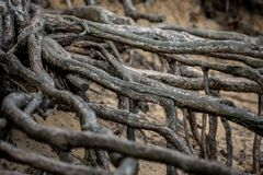 Pine Root in Sandy Ground. Old strong roots protruding from the sand. Washed Out royalty free stock photo