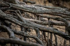 Pine Root in Sandy Ground. Old strong roots protruding from the sand. Washed Out stock images