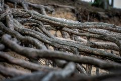 Pine Root in Sandy Ground. Old strong roots protruding from the sand. Washed Out royalty free stock image