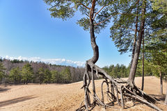 Pine roots Royalty Free Stock Photography