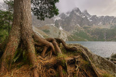 Pine roots on the rock. Stock Photography